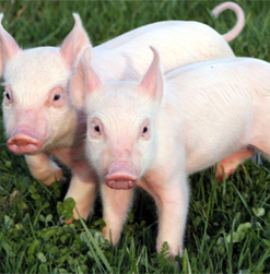 Hog Feed & Supplies
