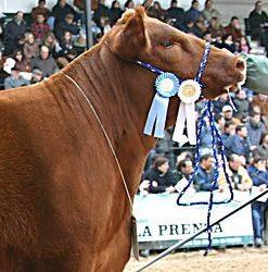 Cattle Show Supplies